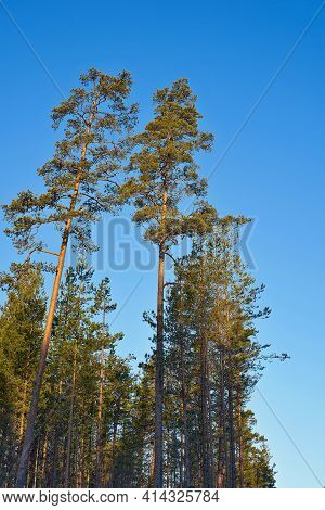 Two Trees In The Foreground And Beautiful Morning Landscape Of Large Pines With Green Needles On Bra