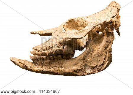 The Skull Of The Short-legged Rhinoceros Chilotherium (latin: Chilotherium Cf. Habereri) Is Isolated