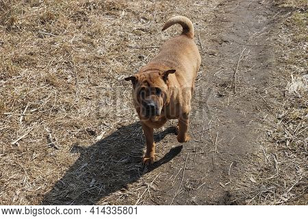 One Large Brown Shar Pei Dog Stands Outside On Gray Ground And Dry Grass