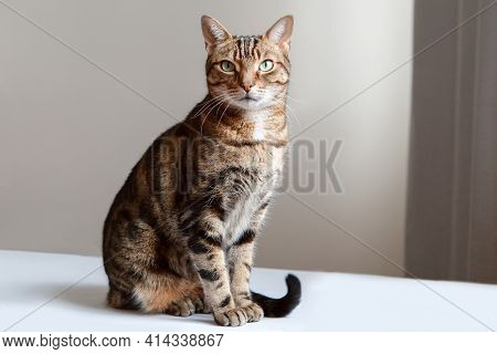 Beautiful Pet Cat Sitting On Table At Home Looking At Camera. Relaxing Fluffy Hairy Striped Domestic