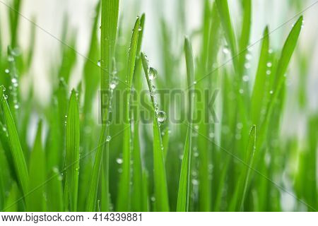 Fresh Green Grass With Dew Drops Closeup.wallpaper, Water Droplets On The Leaves. Natural Background