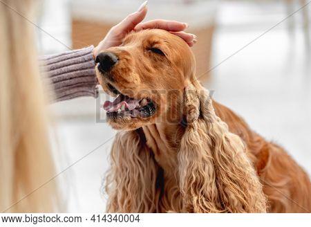 English cocker spaniel dog enjoying palming hand of woman at home