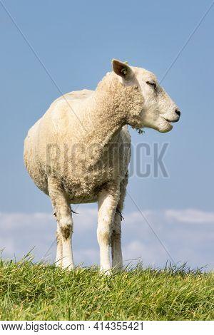 Cute Silhouette Of Grazing Sheep At Dutch Dike Along Lake Ijsselmeer