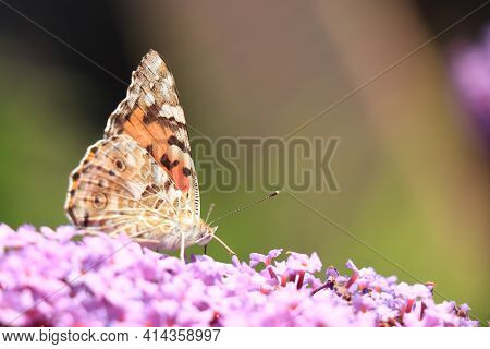 Painted Lady (vanessa Cardui) Butterfly On Summer Lilac