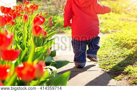 Little Child Walking Near Tulips On The Flower Bed In Beautiful Spring Day. Baby Boy Outdoors In The