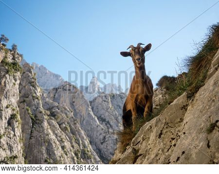 Curious Mountain Goat Along Gorge Valley Canyon Hiking Trail Path Route Senda Del Cares In Picos De
