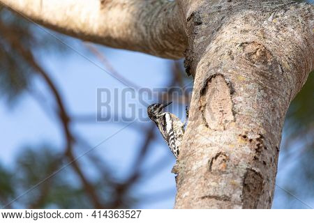 Small Male Downy Woodpecker Picoides Pubescens On A Tree In Naples, Florida.