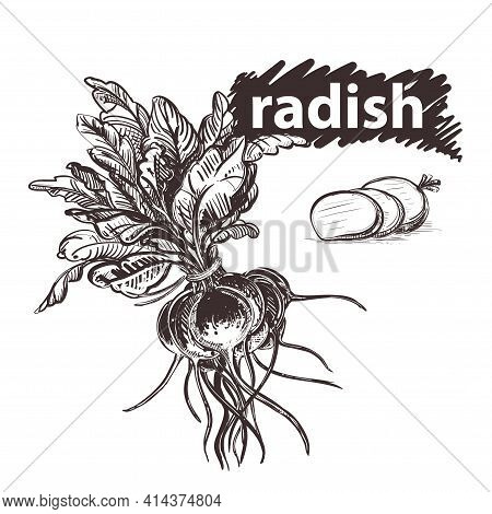 Detailed Hand Drawn Black And White, Color Illustration Set Of Radish. Sketch. Vector. Elements In G