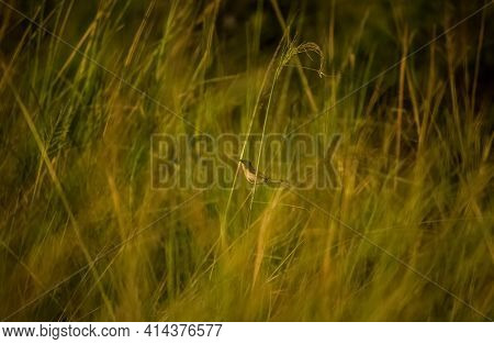 Small Sparrows Bird Standing Inside On Grassfield. Sparrows Bird Stock Images.