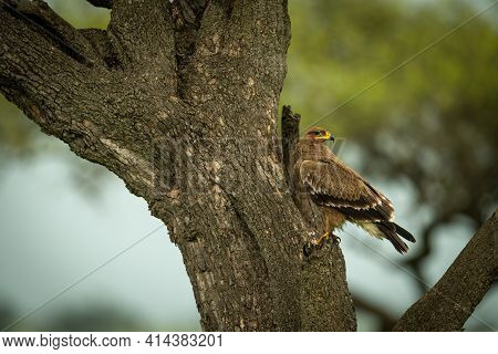 Tawny Eagle On Tree Trunk Turning Head