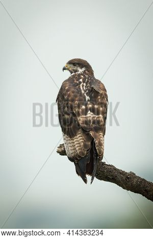 Tawny Eagle On Dead Branch Turning Head
