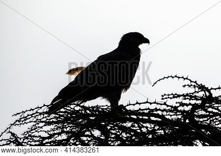 Silhouette Of Tawny Eagle With Loose Feather