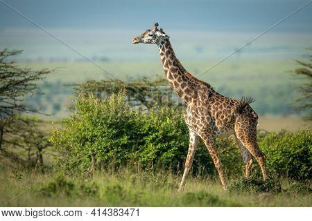 Masai Giraffe Walking Past Bushes In Sunshine