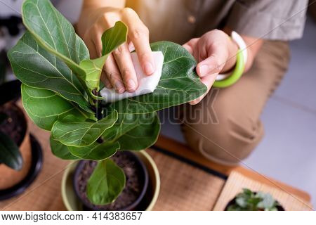 Hands Woman Using Cotton Wipe Dust Off Leaves,clean The Leaves Of Houseplants,plant Grooming