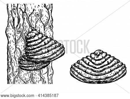 Chaga Mushroom On Tree. Vector Drawing. Botanical Illustration. Medical Plant. Herbal Engraved Style