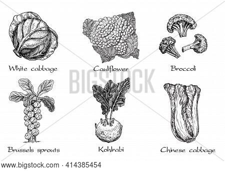 Hand Drawn Different Types Of Cabbage On White Background. Vector Sketch Illustration. Brussels Spro