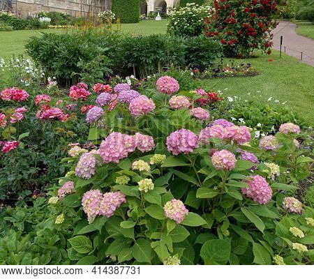 Lush Flowering Hydrangea Bush, Pink And Purple, Ball Shape, Roses Bloom Nearby, Peony Bushes, Green