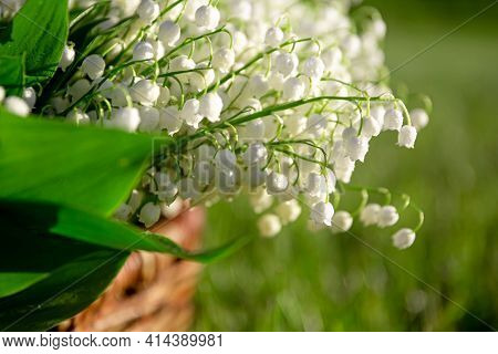 Lilies Of The Valley With Leaves In A Meadow Close-up. White Natural Bell. Fragrant Spring Beautiful