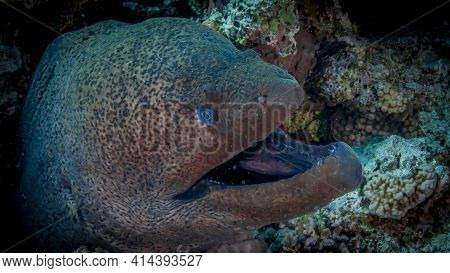 Moray Hunts Reefs Of The Red Sea