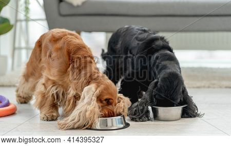 Pair of english cocker spaniel dogs eating from bowls in light room at home