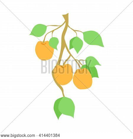 Fruit Apricot Branch, Illustration Isolated On White Background. Hand Drawn Apricots Hanging On Bran