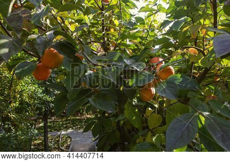 Tree With Ripe Large Fruits Of Orange Persimmon On A Branch With Large Leaves In The Garden