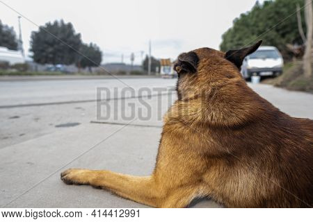One Brown Neglected Stray Dog Looking At Cars Passing By On A Town Road