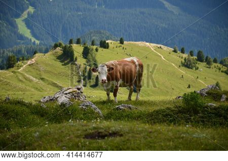 Cow On The Alpine Meadow In The Dolomites. Agriculture In The Mountains. Landscape With Lush Green M