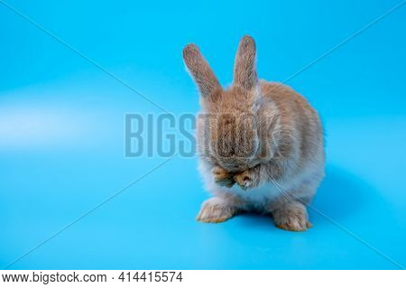 One Brown Young Adorable Bunny Sitting Lick And Clean Leg On Blue Background. Cute Baby Netherlands