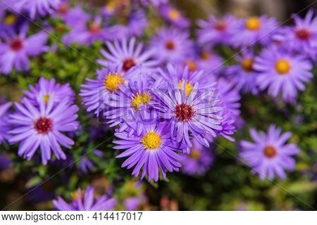 Autumn Floral Garden. Close Up Lilac Flowers New York Aster Or Aster Novi-belgii (latin: Symphyotric