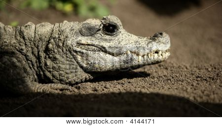 Midget Crocodrile From Africa, Aligators.