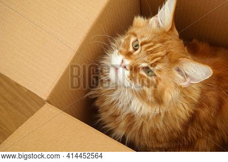 A Red Maine Coon Sitting In A Cardboard Box And Looking Upwards. Close Up.
