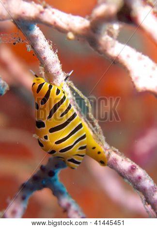 Tiger egg cowrie (Cuspivolva tigris)