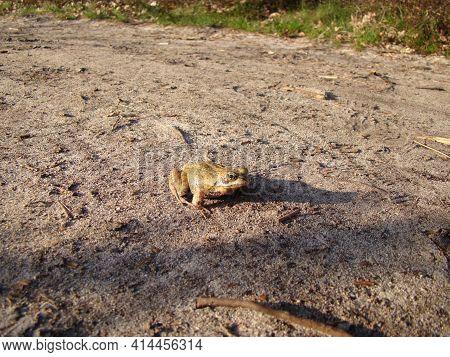 Een kikker die stilzit op het zandpad in het zonlicht