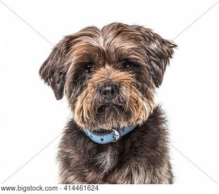 Crossbreed dog wearing a blue collar, isolated