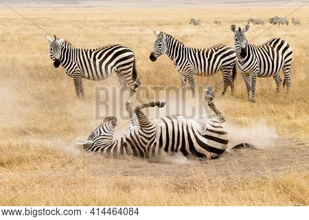 Zebra That Is Rolling On The Ground. Ngorongoro Crater, Tanzania
