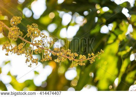 The Mango Bouquet Or Mango Flower Is Blooming Full On The Mango Trees In The Garden