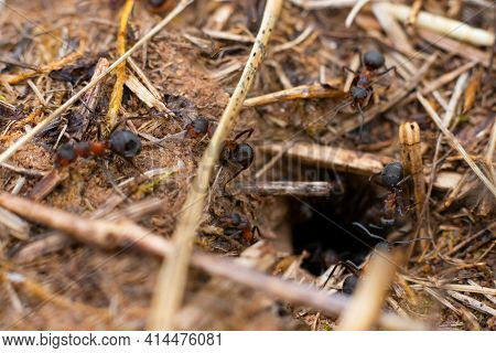 Macro photo of hole made by ants and many running and working ants around it. Anthill