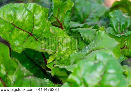 Green Leaves Of Beetroot Plant On Garden Bed. Harvesting And Cultivation Organic Vegetarian Food In