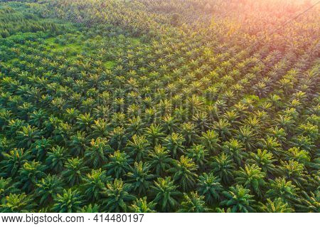 Aerial View Green Tropical Palm Oil Plantation Field