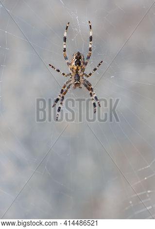 Araneus Big Spider. Large Spider, Araneus, Sitting On A Web. Spider. Macro Photo Of A Garden Spider