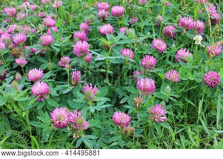 Red Clover Flowers On The Summer Meadow After Rain. Natural Floral Background. Shamrock Field