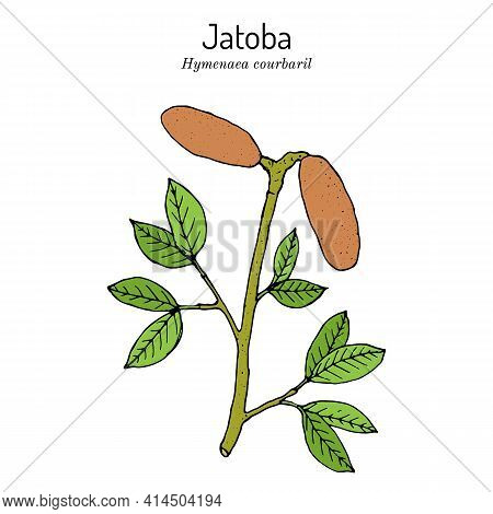 Jatoba, Hymenaea Courbaril, Or West Indian Locust, Brazilian Cherry, Edible Plant. Hand Drawn Botani