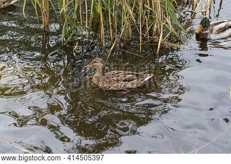 Wild Duck On Lake Water Looking For Food