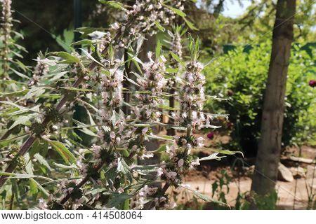 Herb Plant Motherwort In The Herb Garden, Used As Cardiotonic Medicine. Leonurus Cardiaca Green Leav