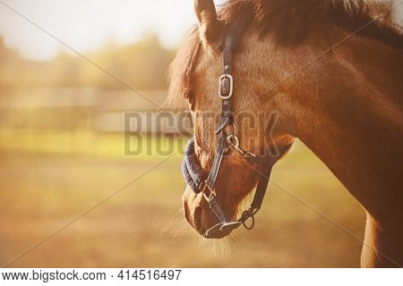 A Portrait Of A Beautiful Horse With A Dark Mane And A Blue Halter On Its Muzzle, Standing In A Fiel