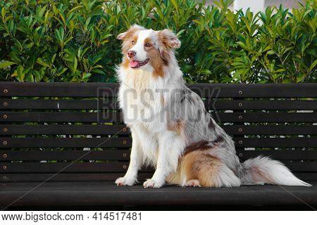 Beautiful Red Merle Australian Shepherd Is Sitting On A Wooden Bench