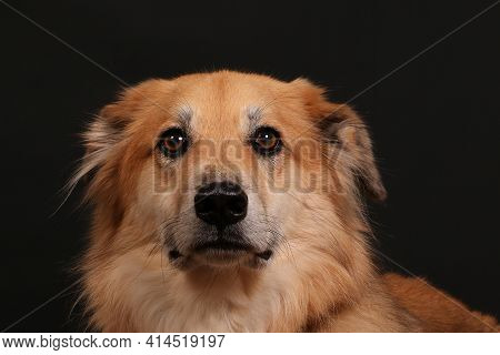 Close Up Of A Head Portrait From A Shepherd Mixed Dog In Front Of A Black Wall
