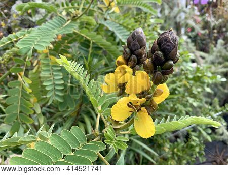 Flowering Plant Senna Didymobotrya Also Known As African Senna, Popcorn Senna, Candelabra Tree, And
