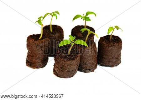 Growing Seedlings In Peat Pressed Tablet Pot Isolated On White